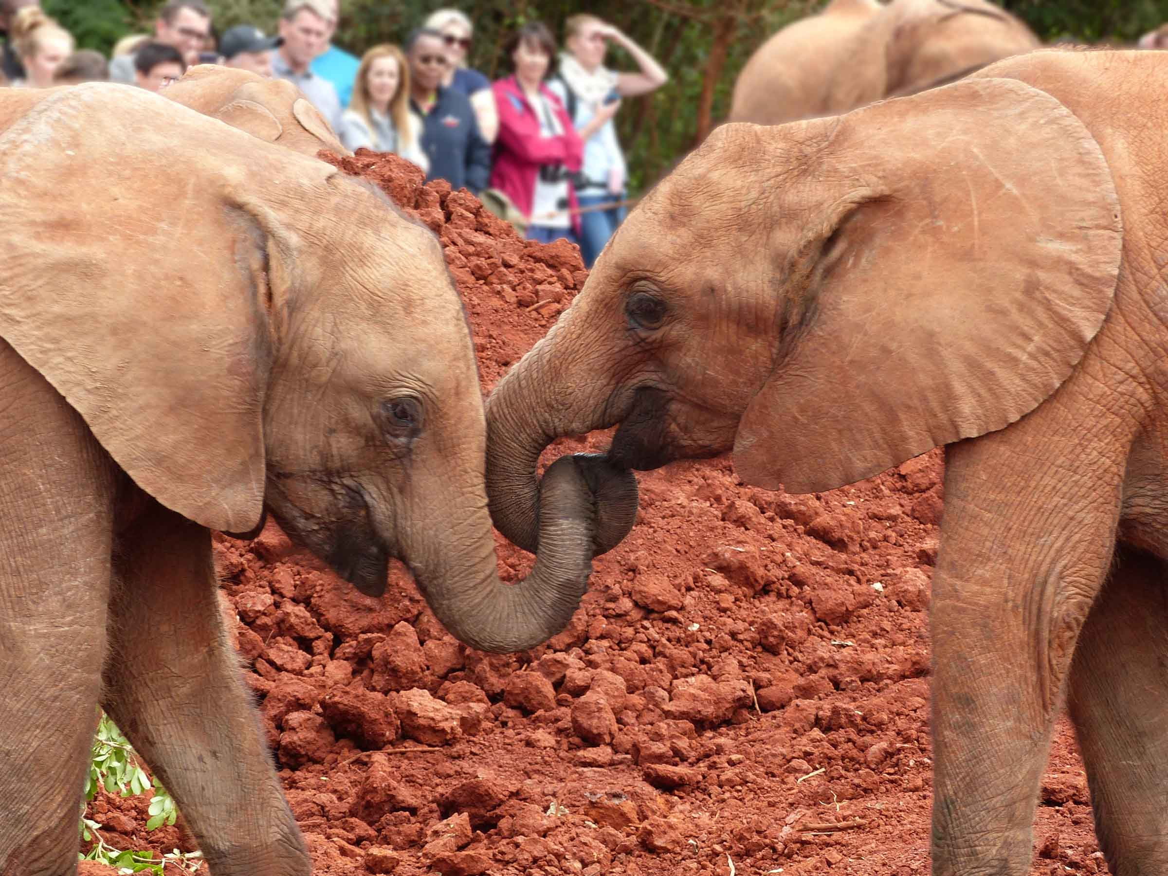 Two elephant calves playing