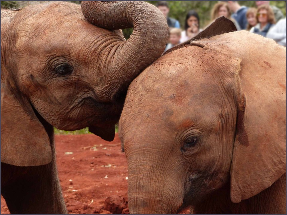 Two young elephants at play