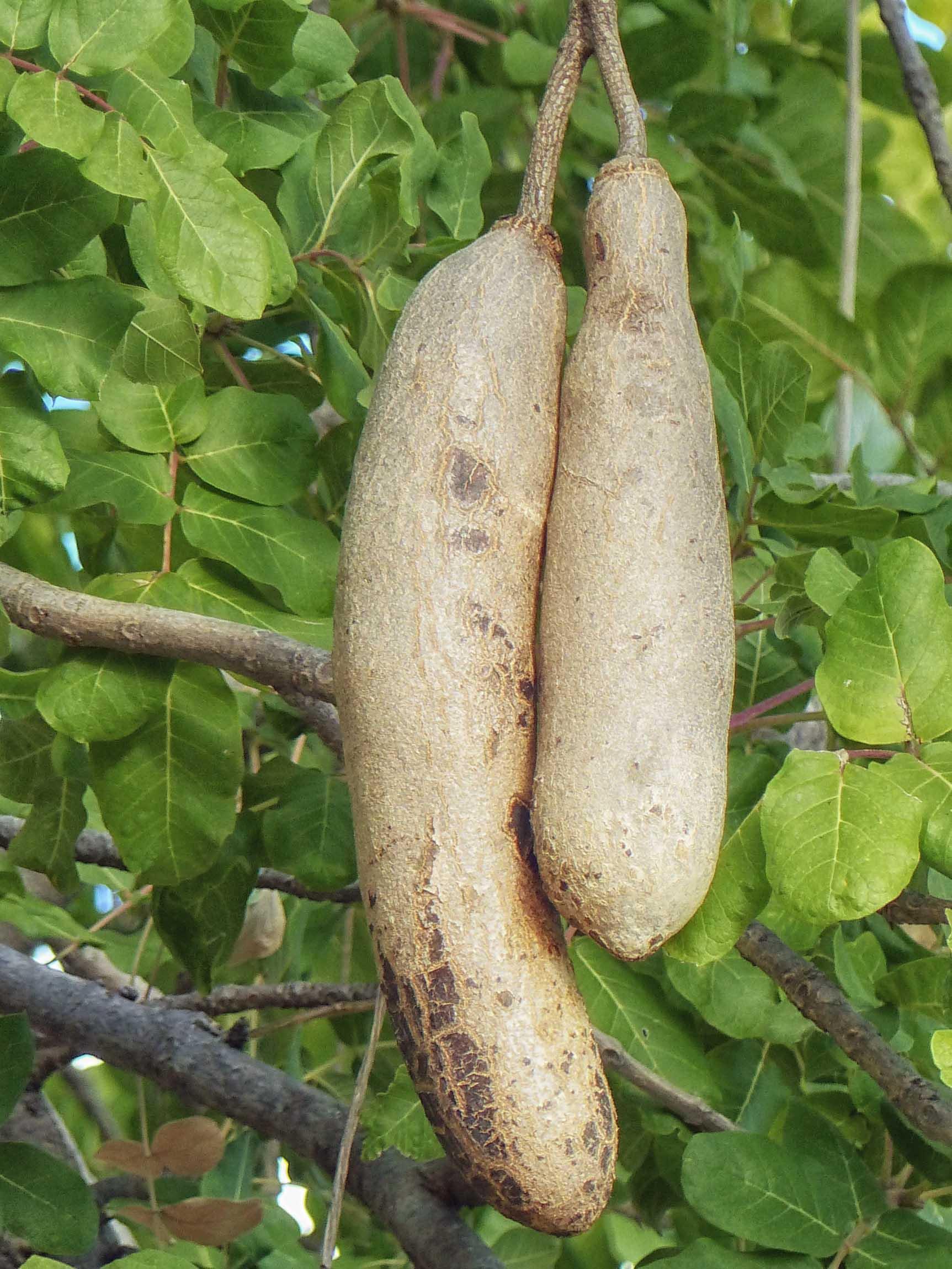 Two long dangling fruits