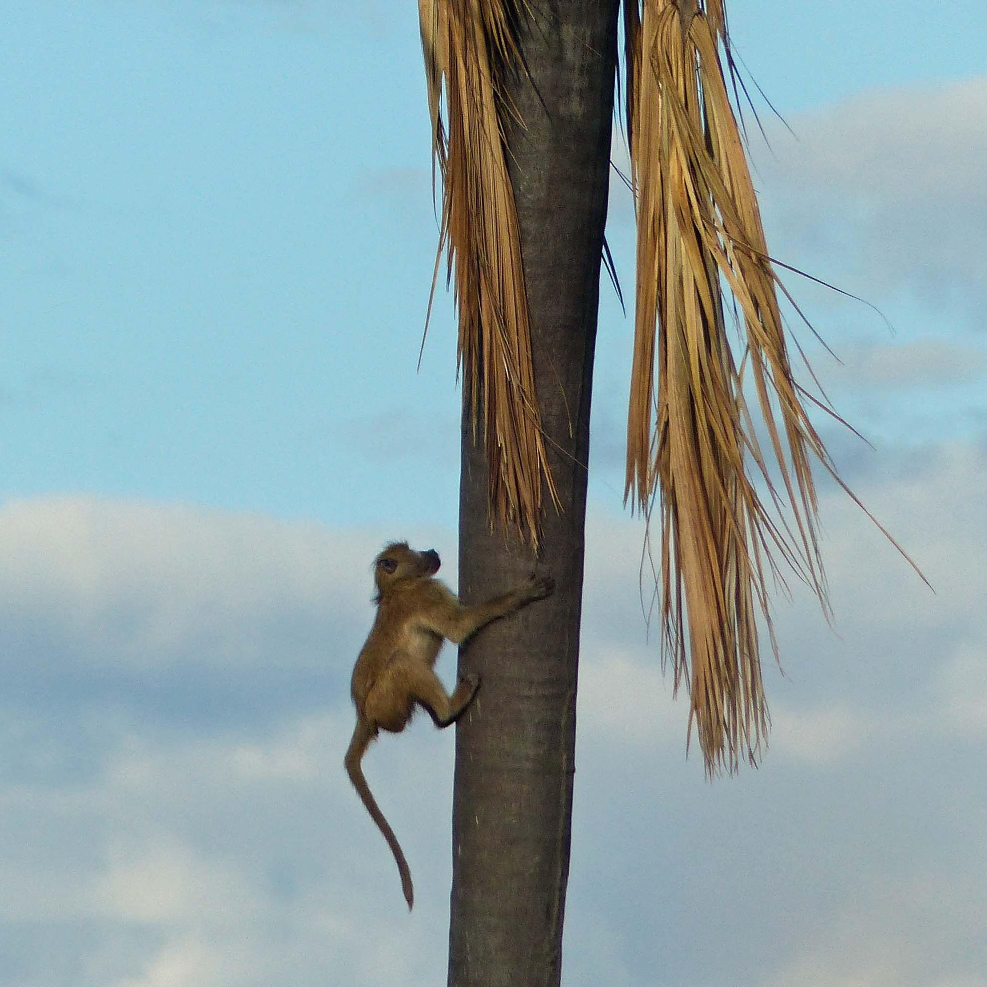 Baboon climbing a tree trunk
