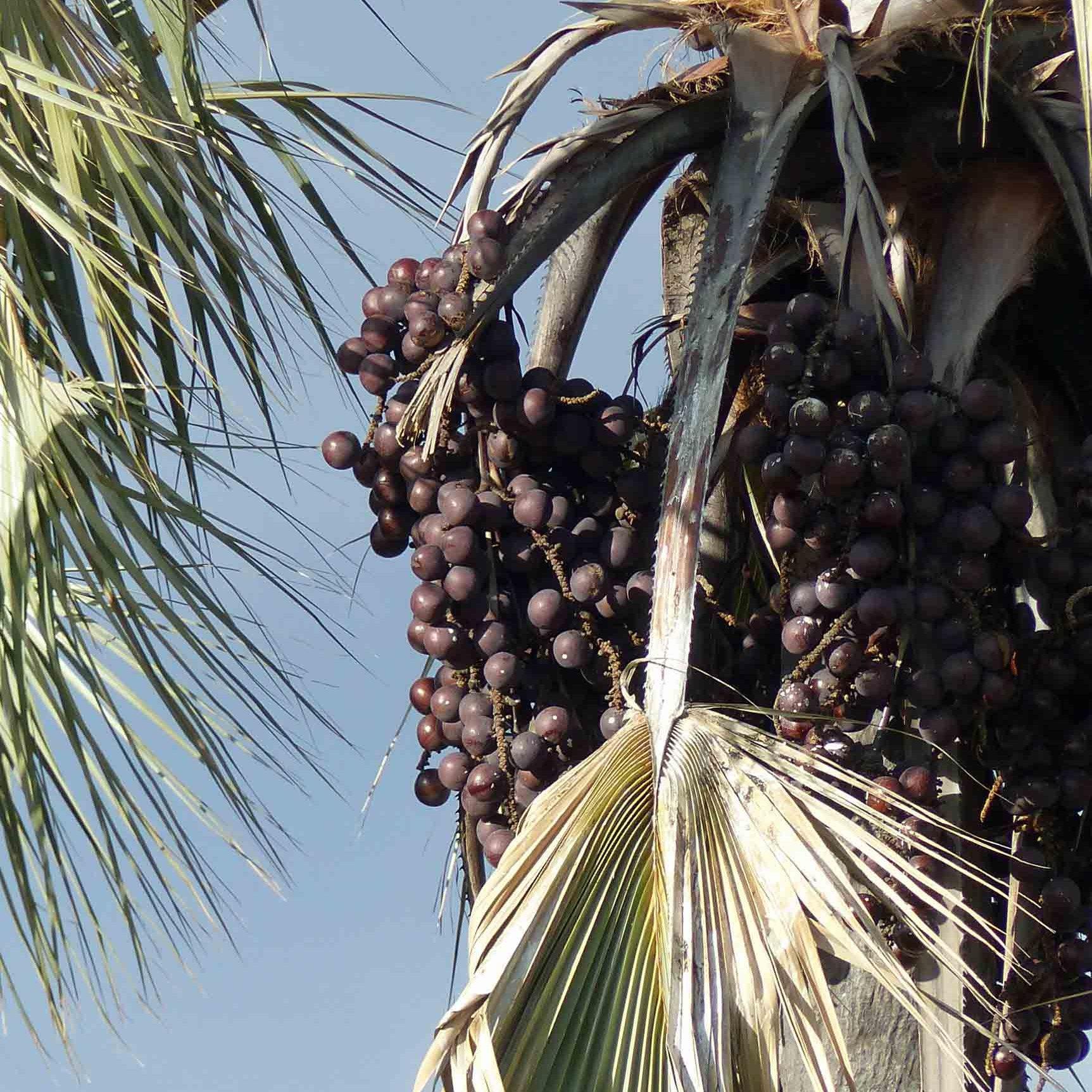 Small black fruits on a palm tree