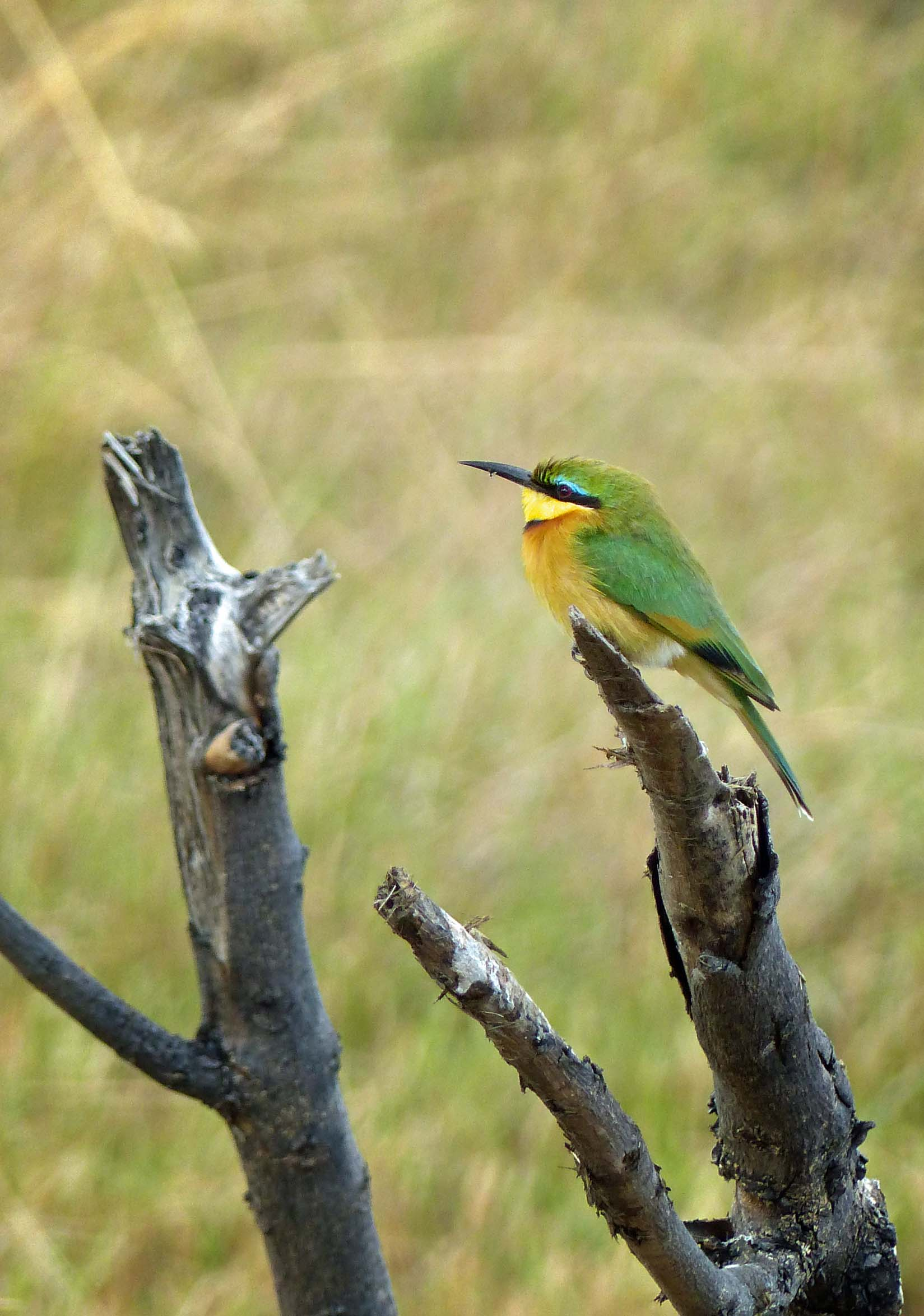 Bright green and yellow bird on a dead tree