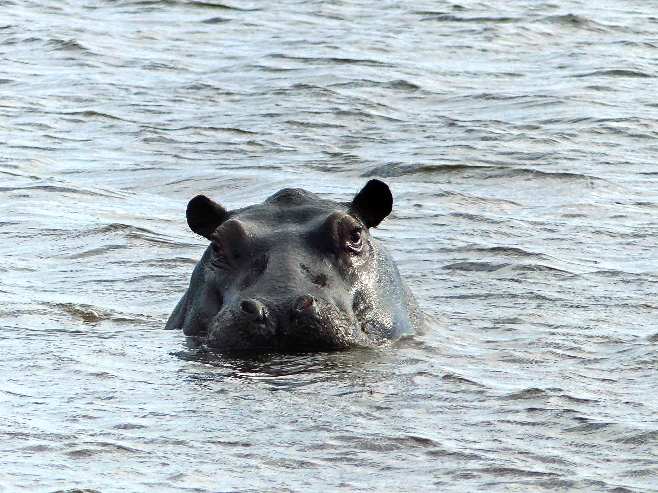 Hippo looking out of water