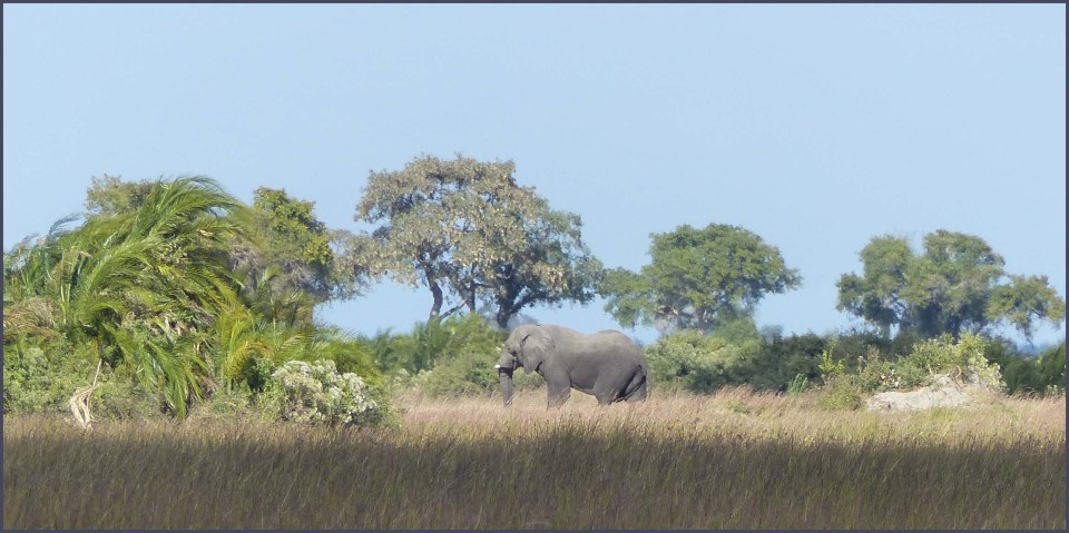 Long grass, trees and elephant