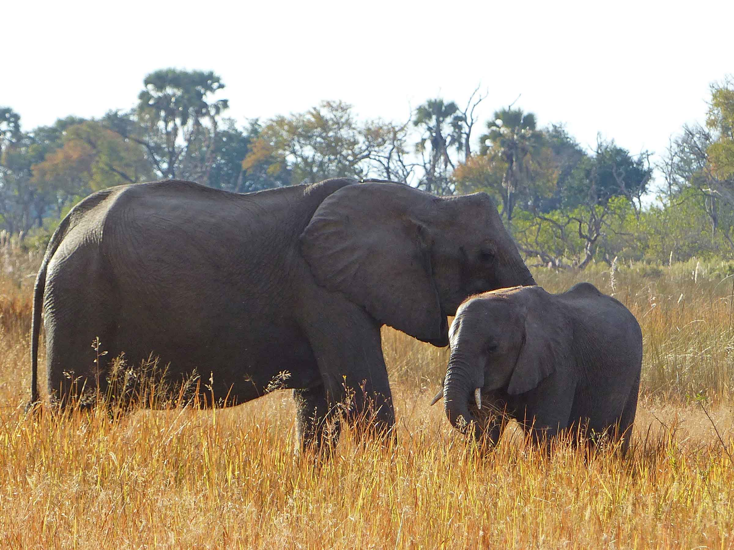 Large and small elephant in long grass