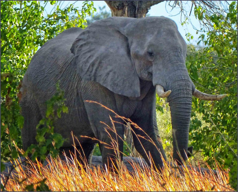 Large elephant in long grass