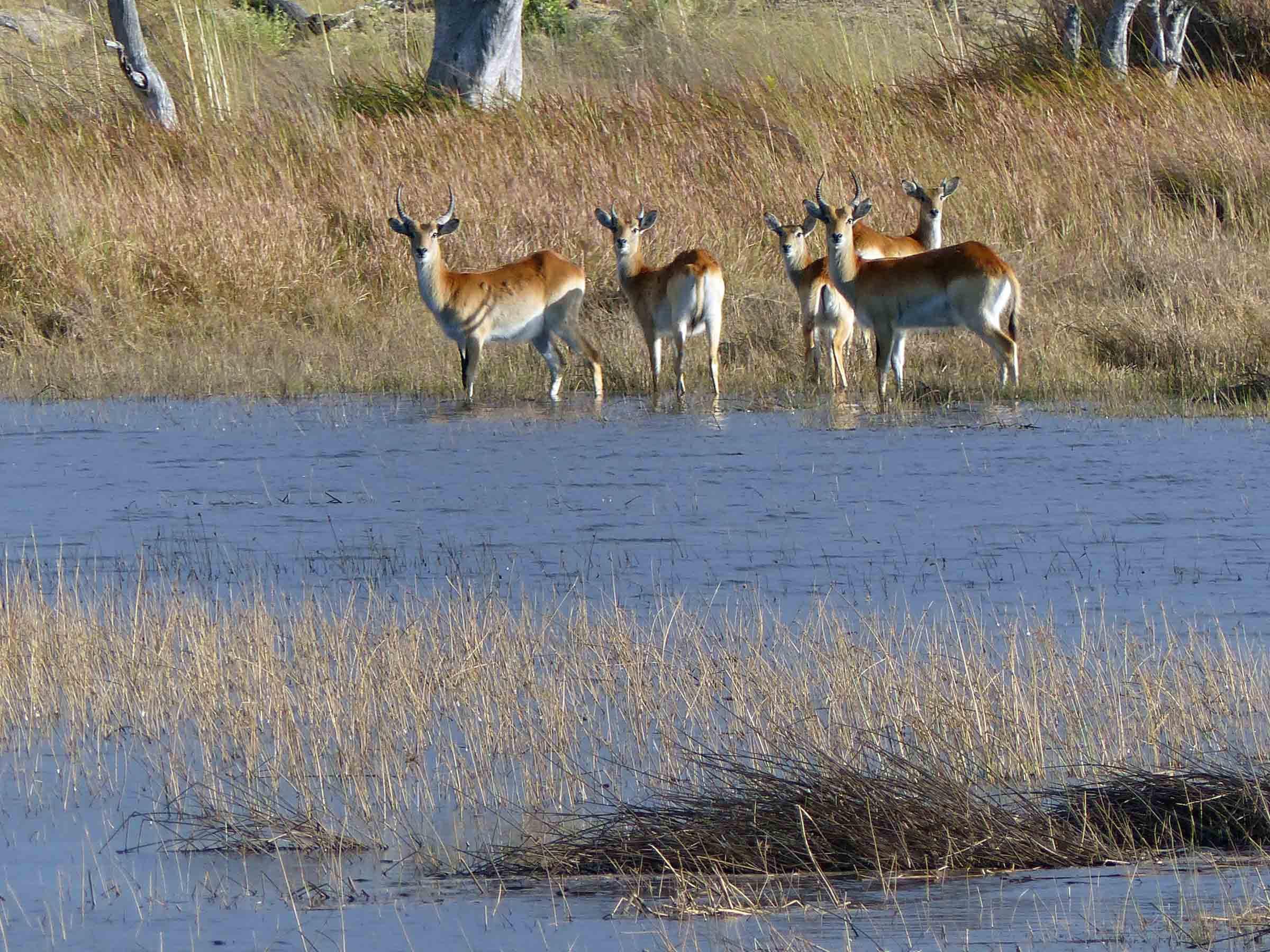 Five deer on far bank of stretch of water