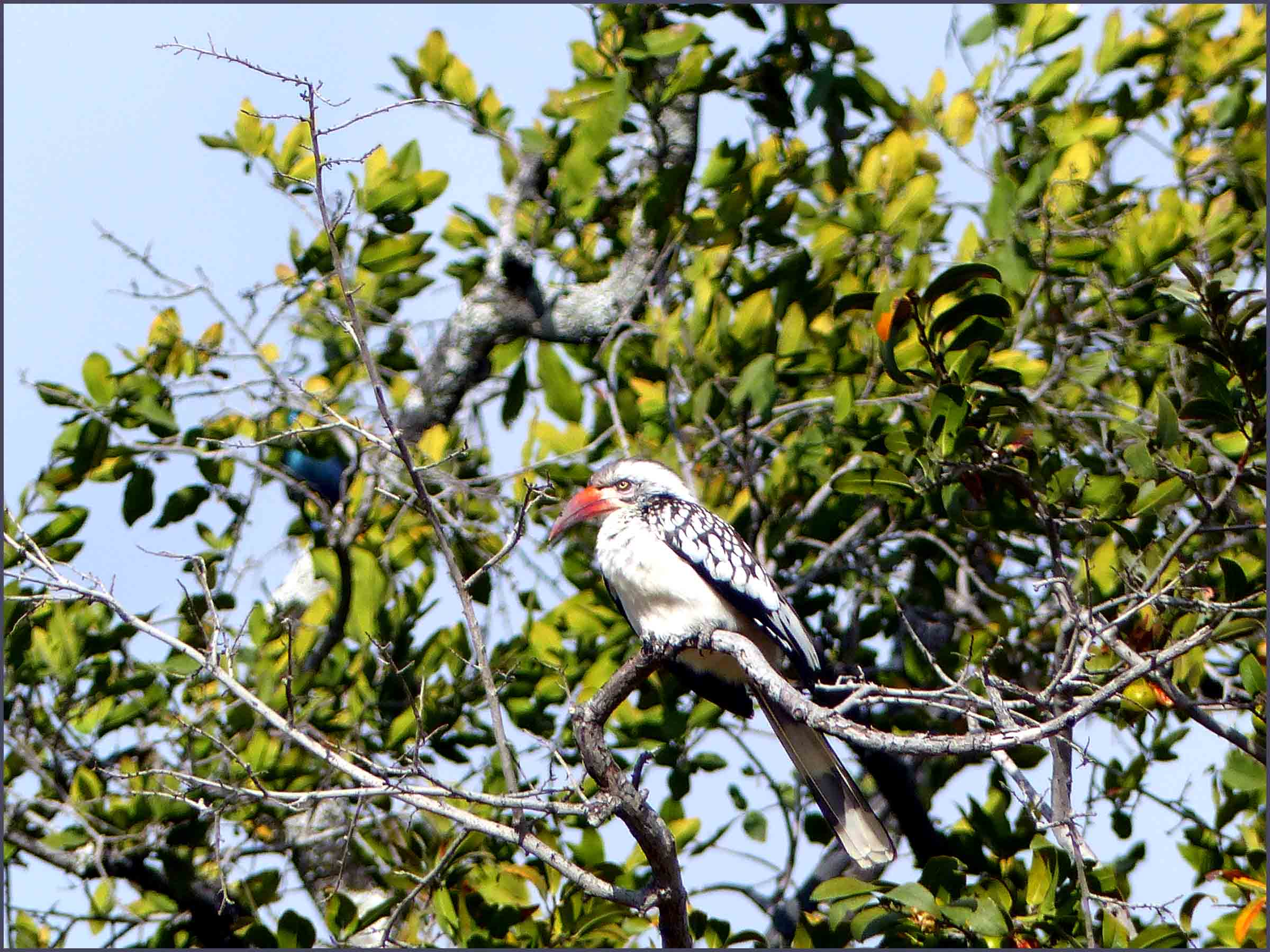 Bird with red bill in a tree