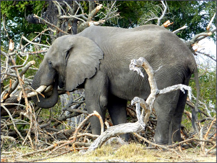 Large elephant with tree branches
