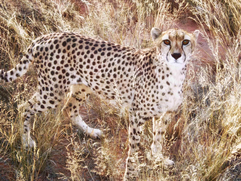 Cheetah in dry grass