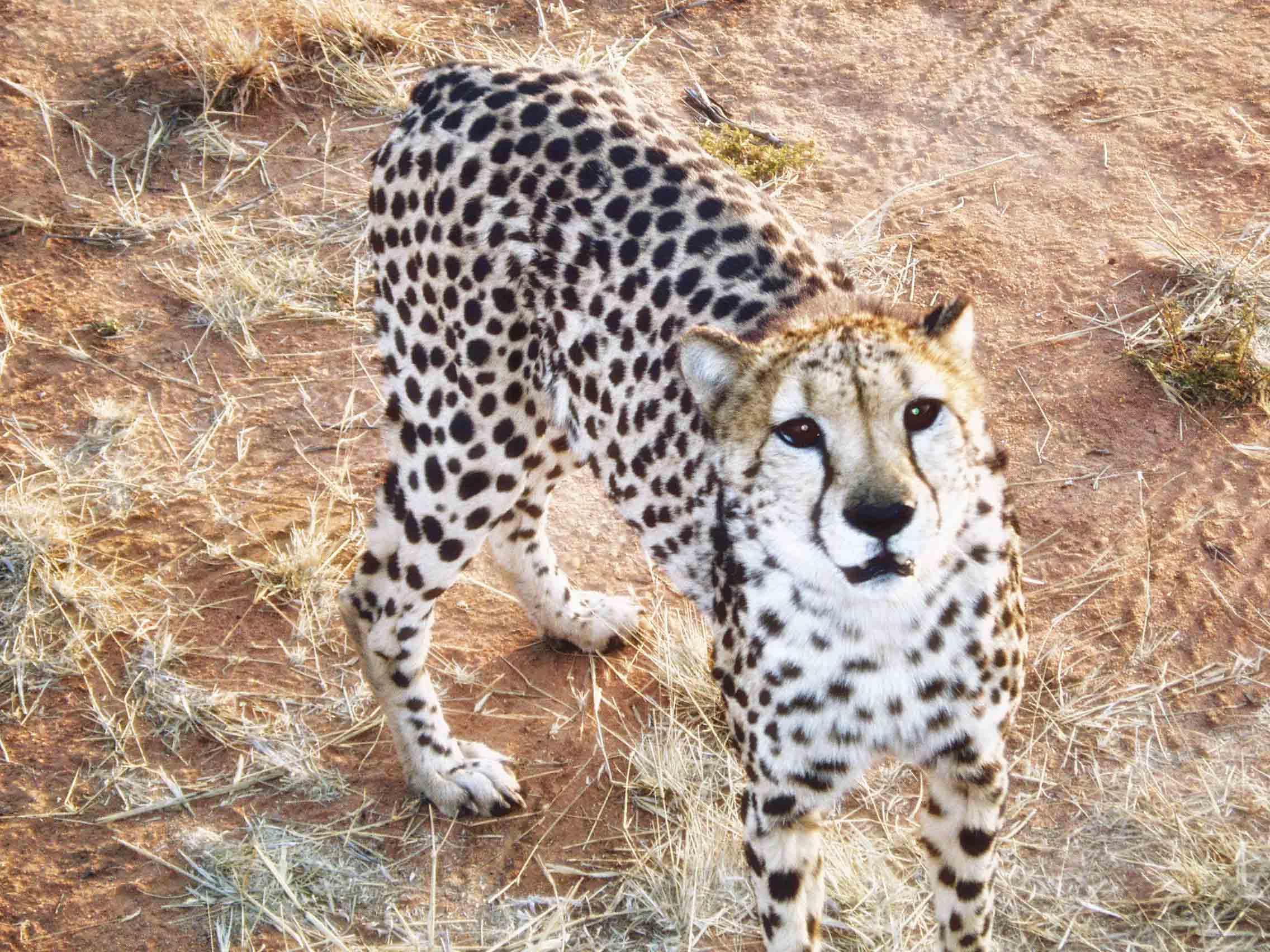 Cheetah looking up at camera