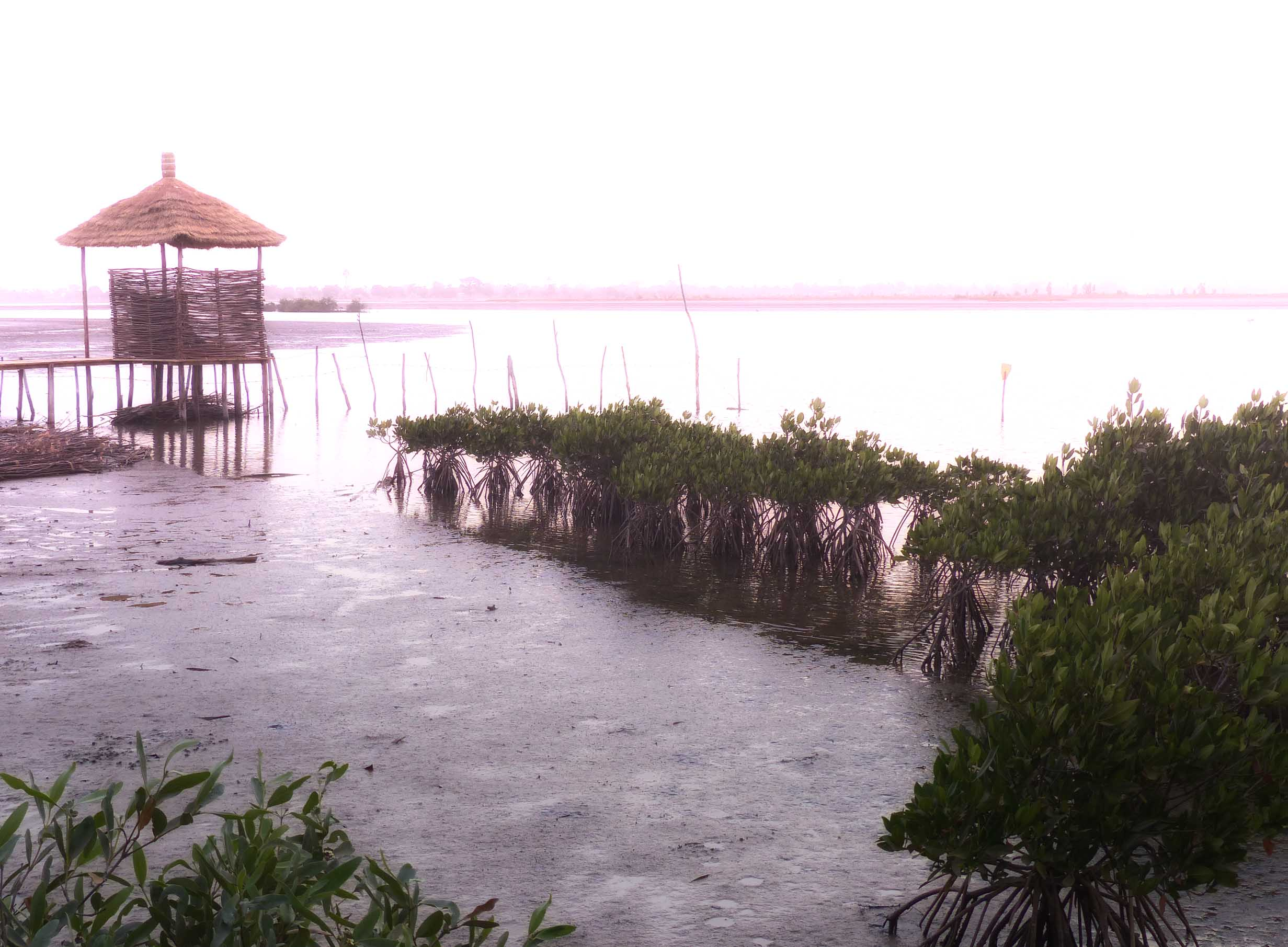 Mangroves and lagoon in pink light