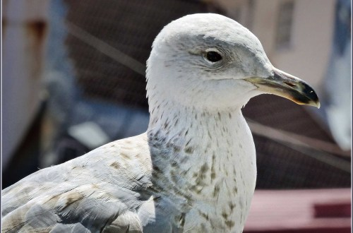 Young Herring Gull with roof tops in background