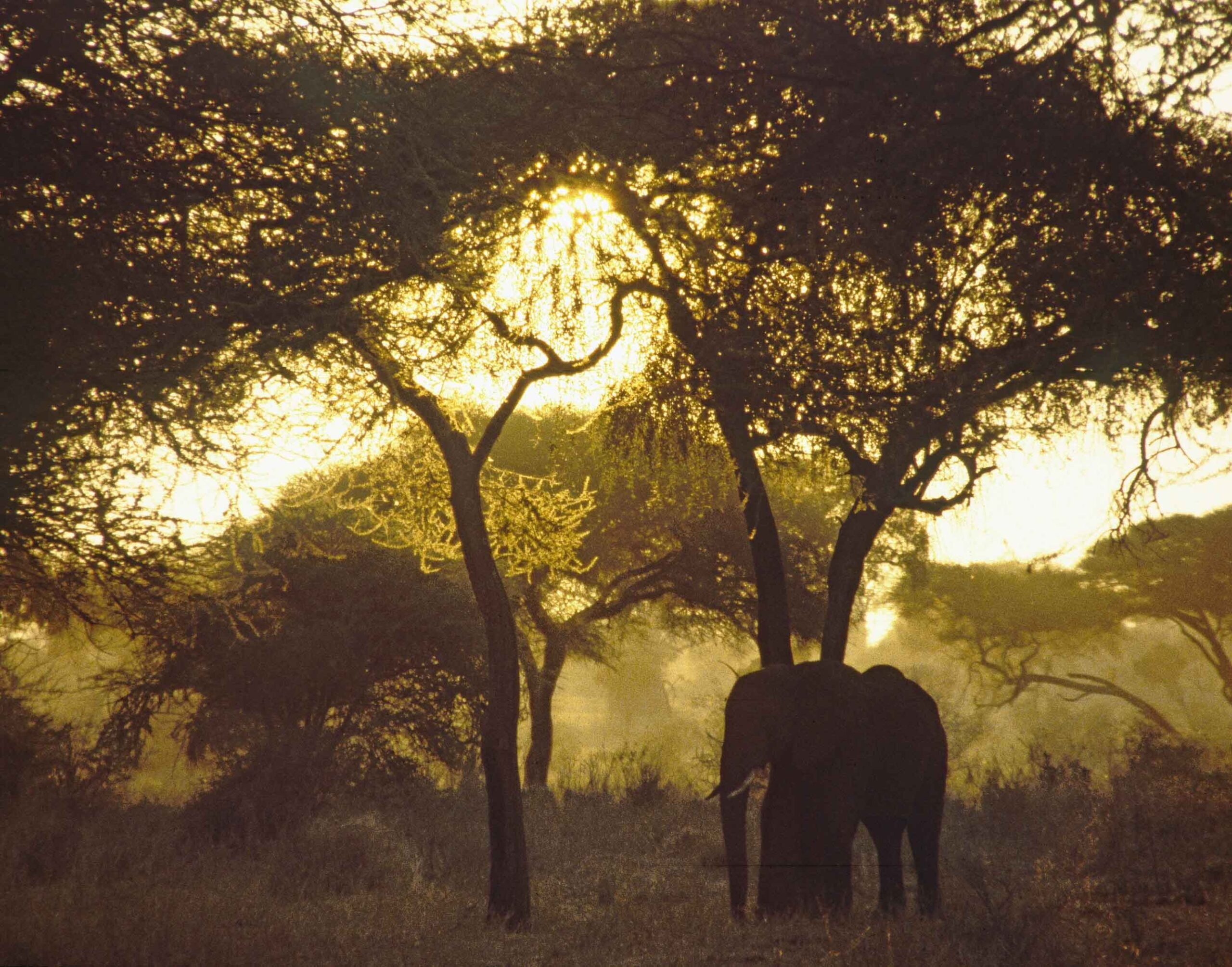 Elephant under a tree with sun behind