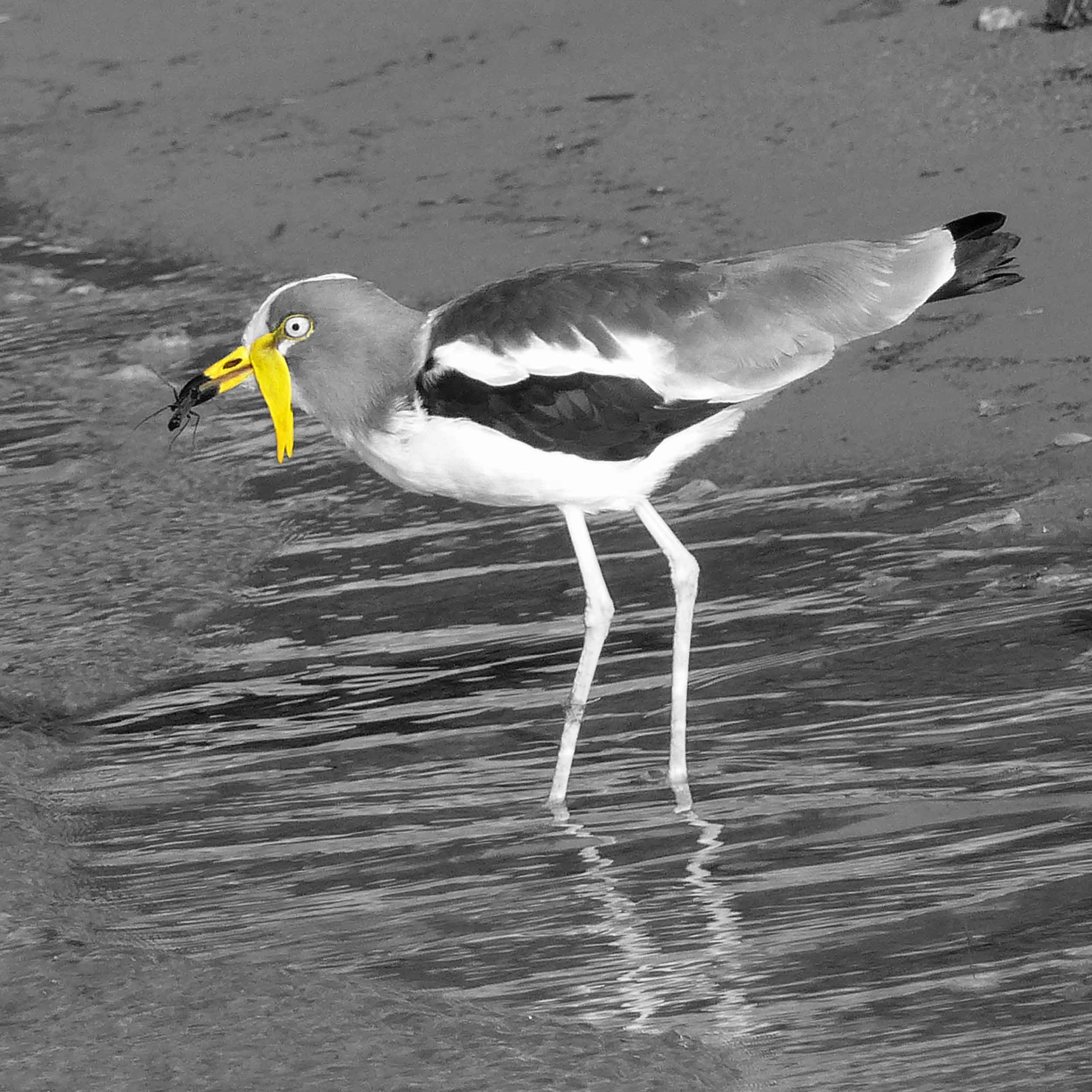 Long-legged bird catching an insect by a river, mostly black and white
