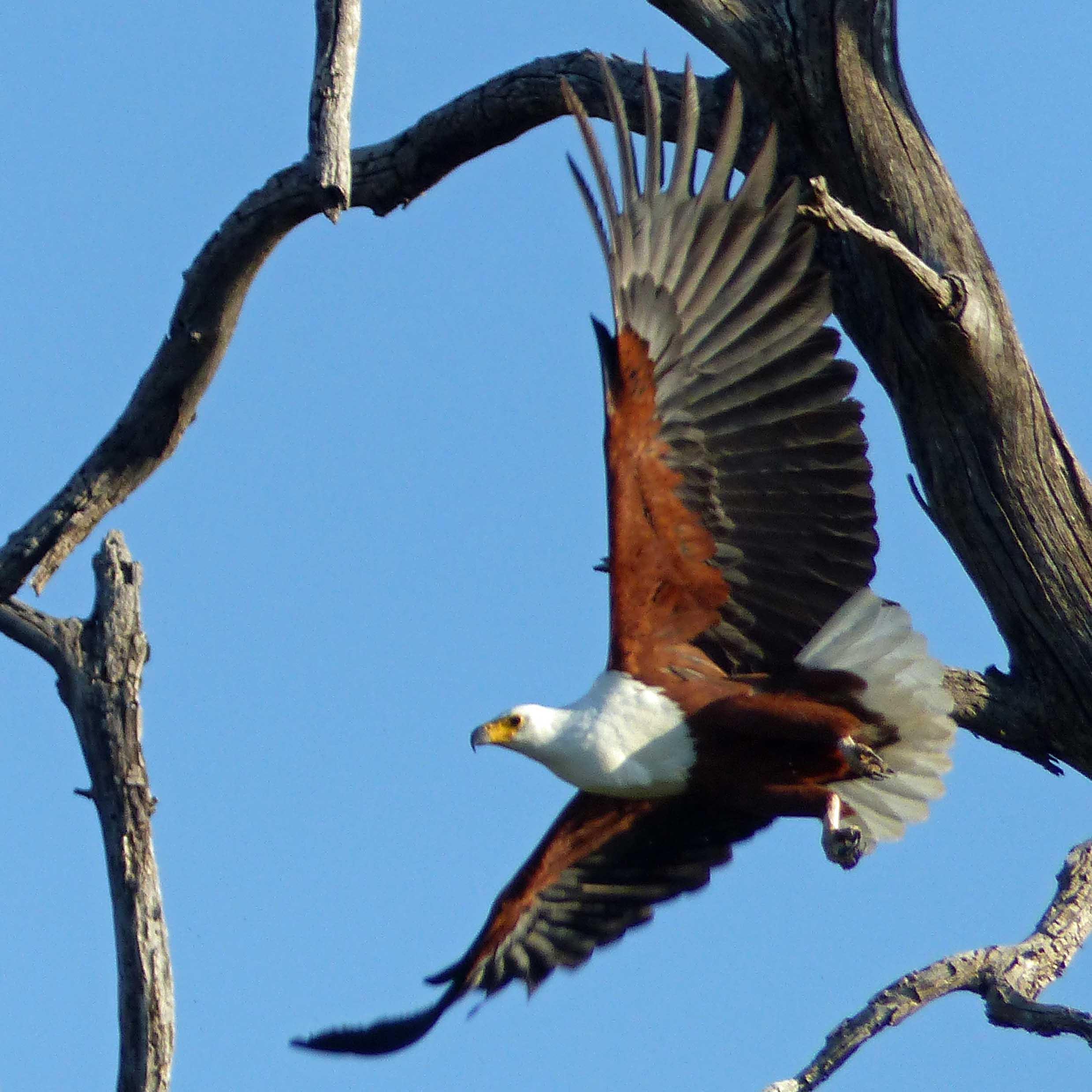 Brown eagle in flight past a dead tree