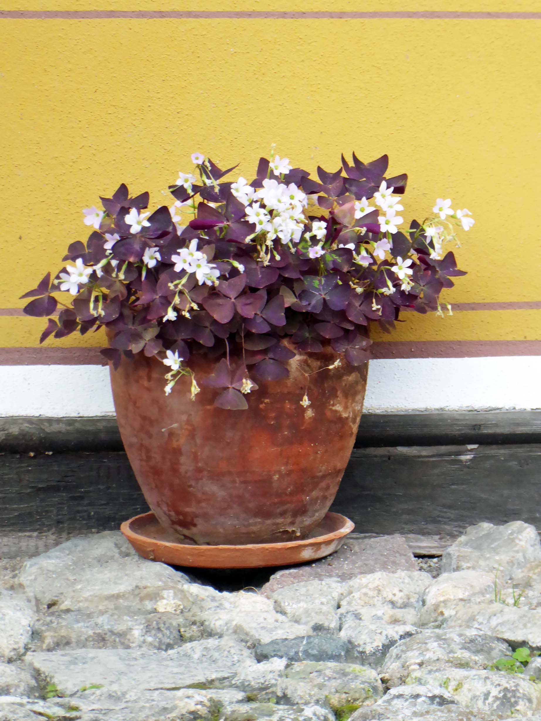Small pot of white flowers