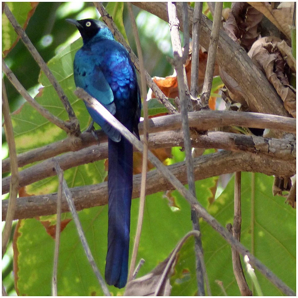 Vivid blue bird with long tail in a tree