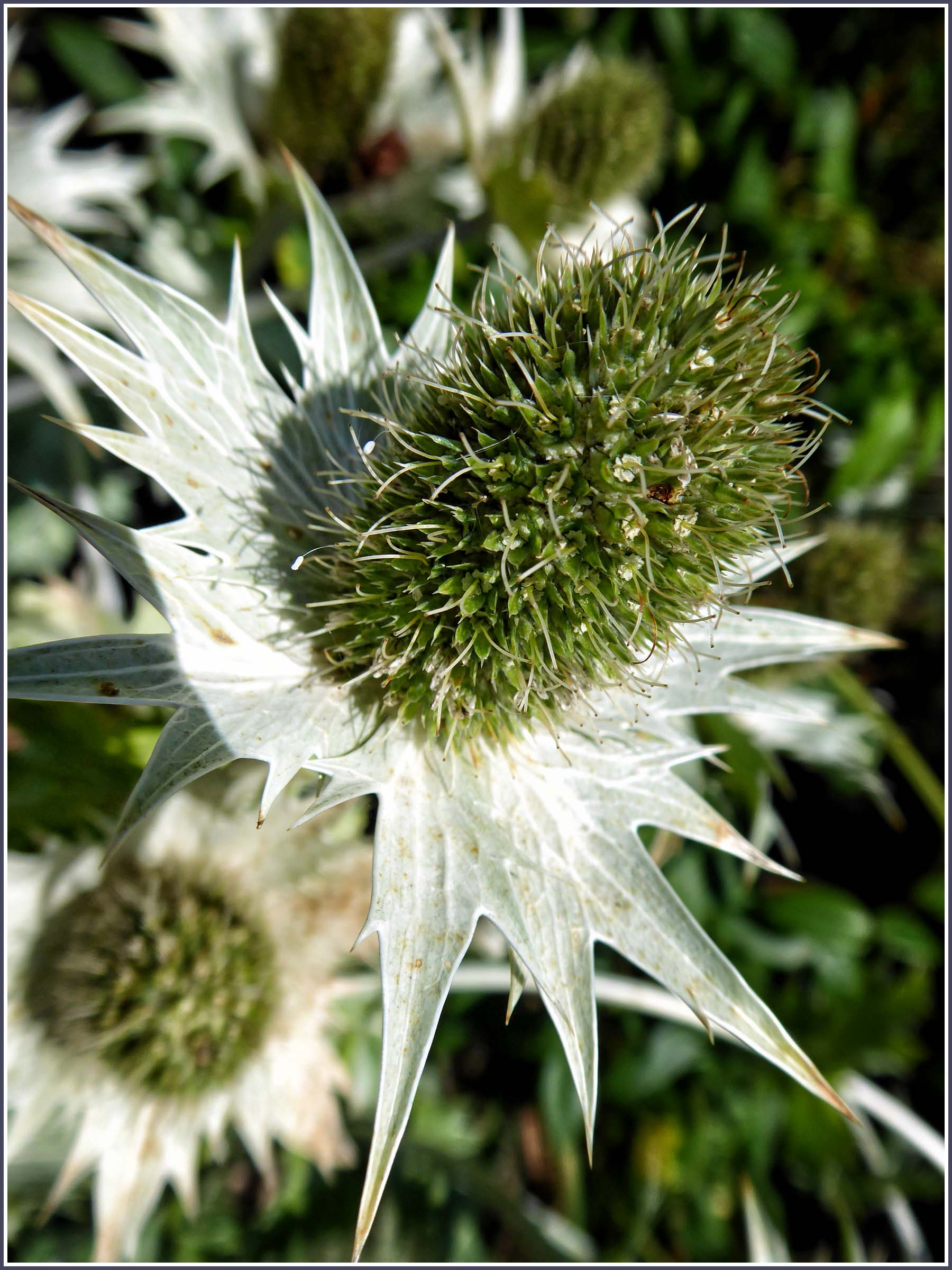 Silver grey thistle