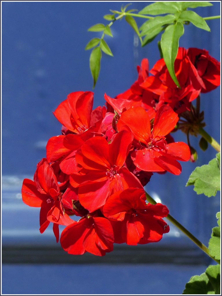 Red flowers in front of a blue painted door