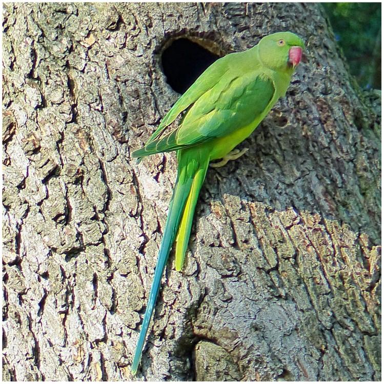 Green parakeet on a tree trunk