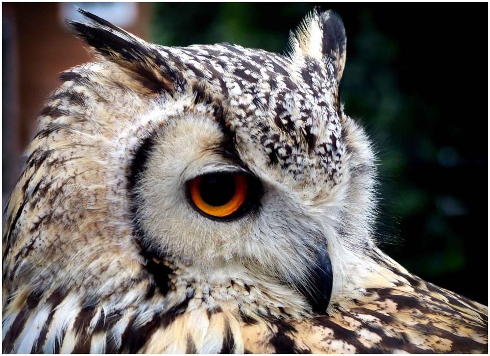 Pale owl with dark markings, ear tufts and orange eyes
