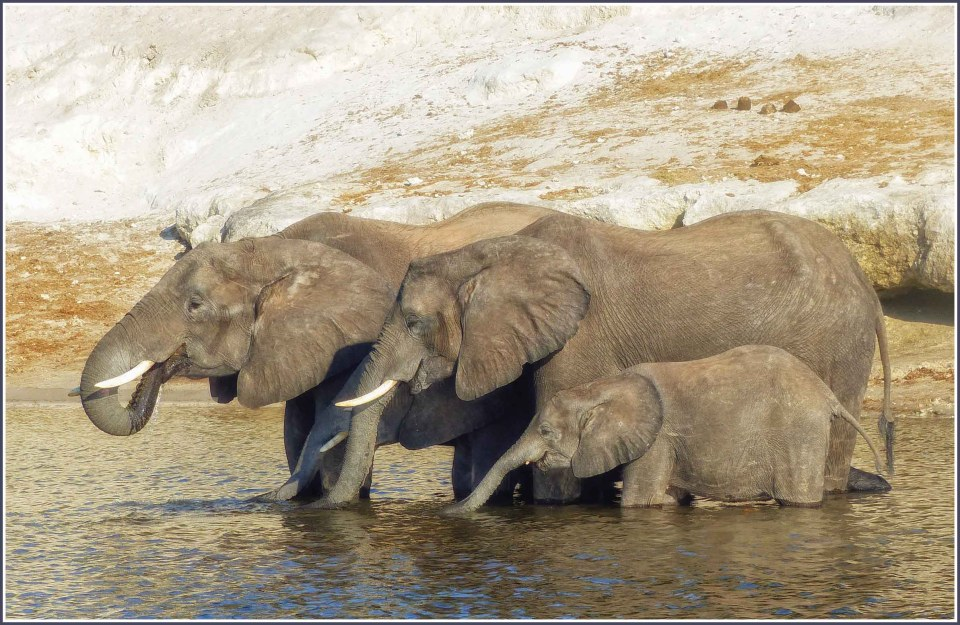 Two adult elephants and two calves drinking in a river