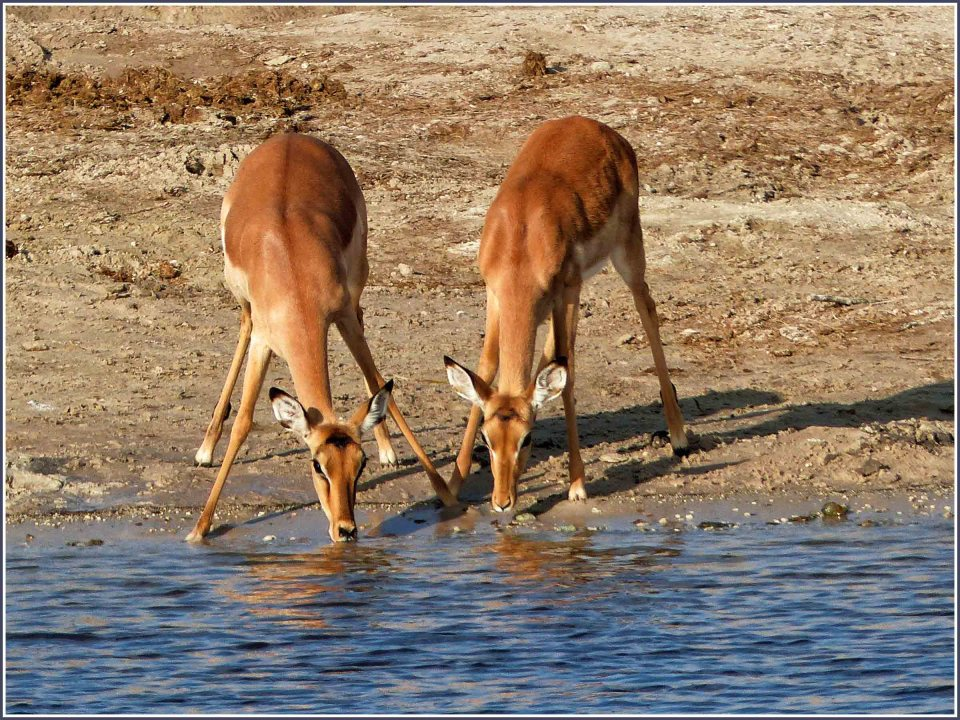 Two small deer drinking
