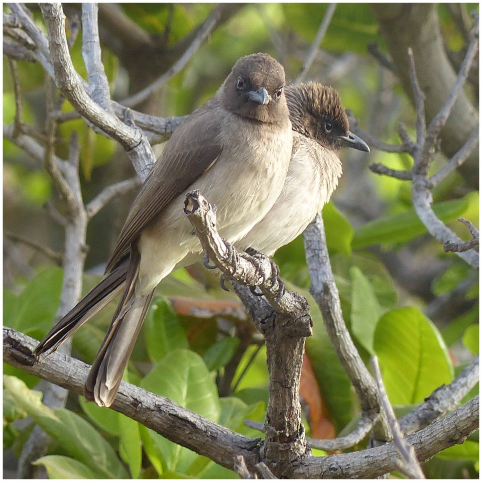 Two brown birds in a tree