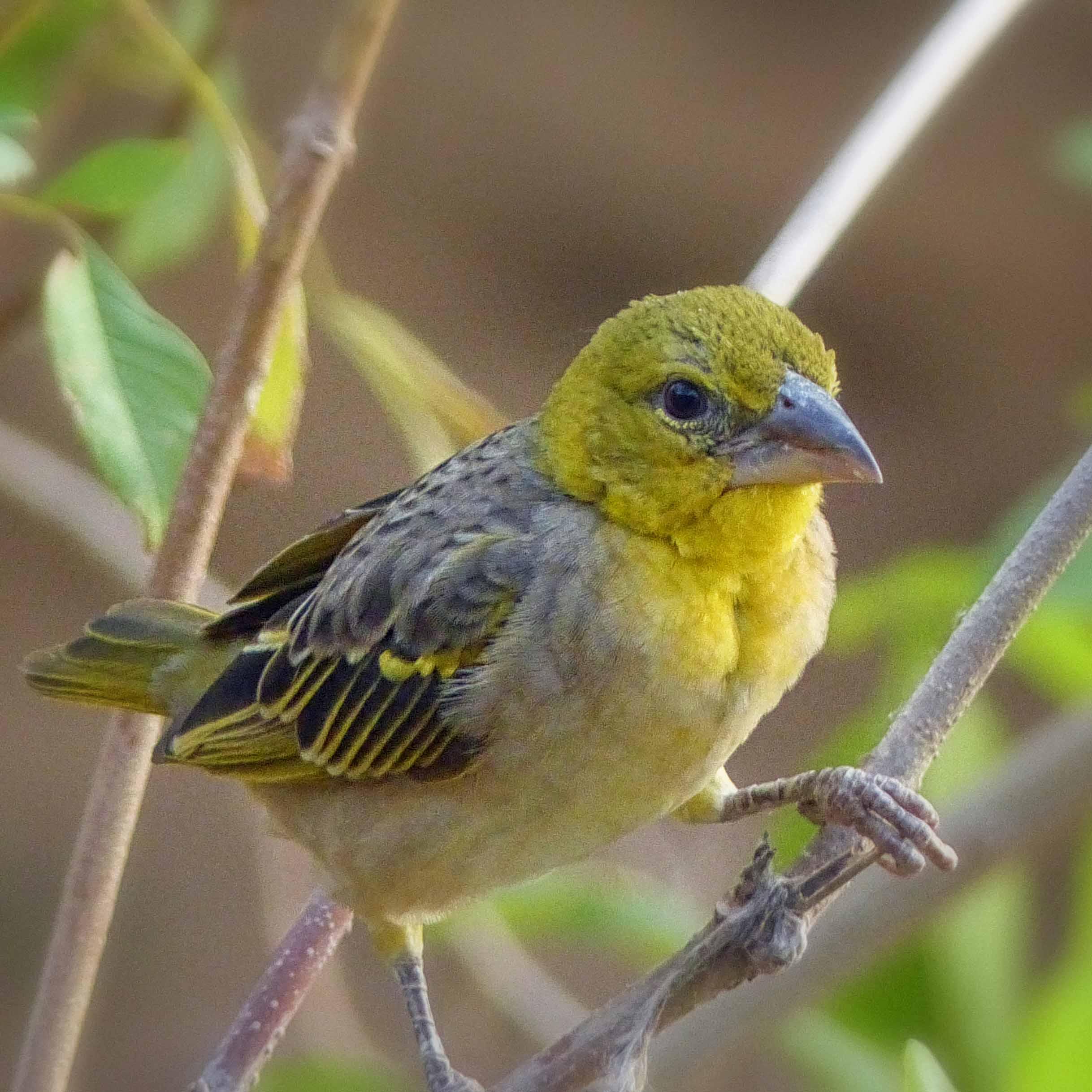 Small yellow bird in a bush