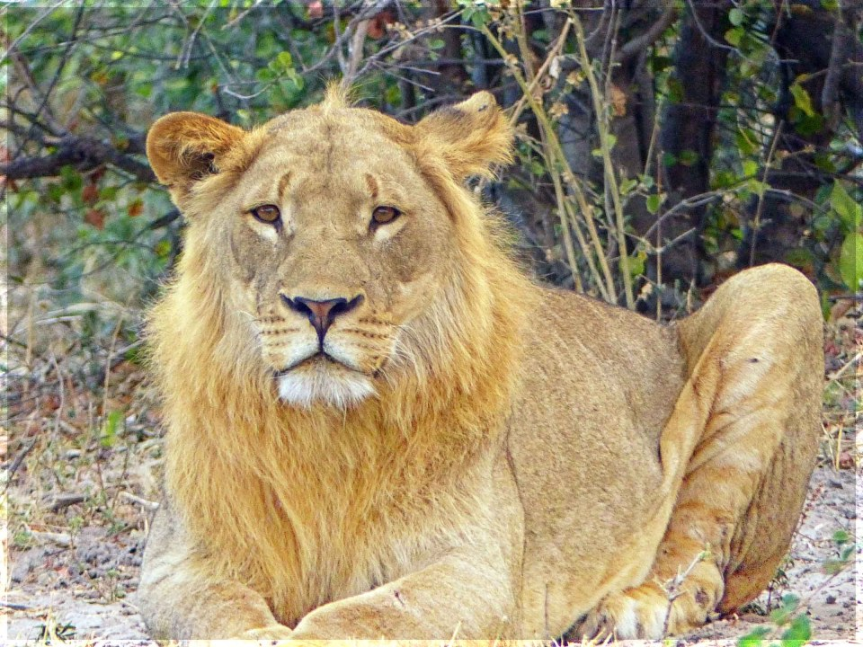 Lion sitting and looking at camera