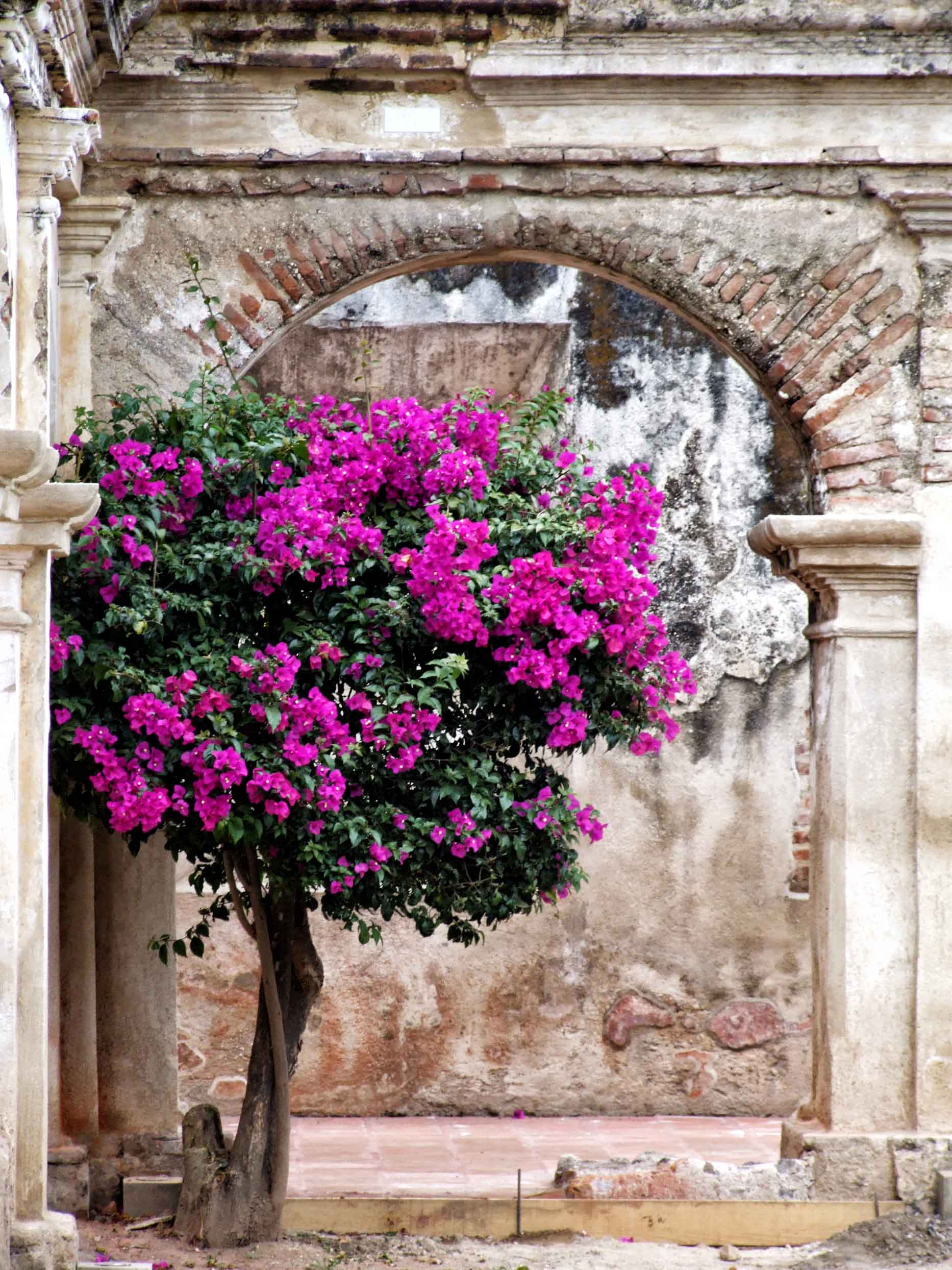 Tree with purple flowers growing under ruined arch