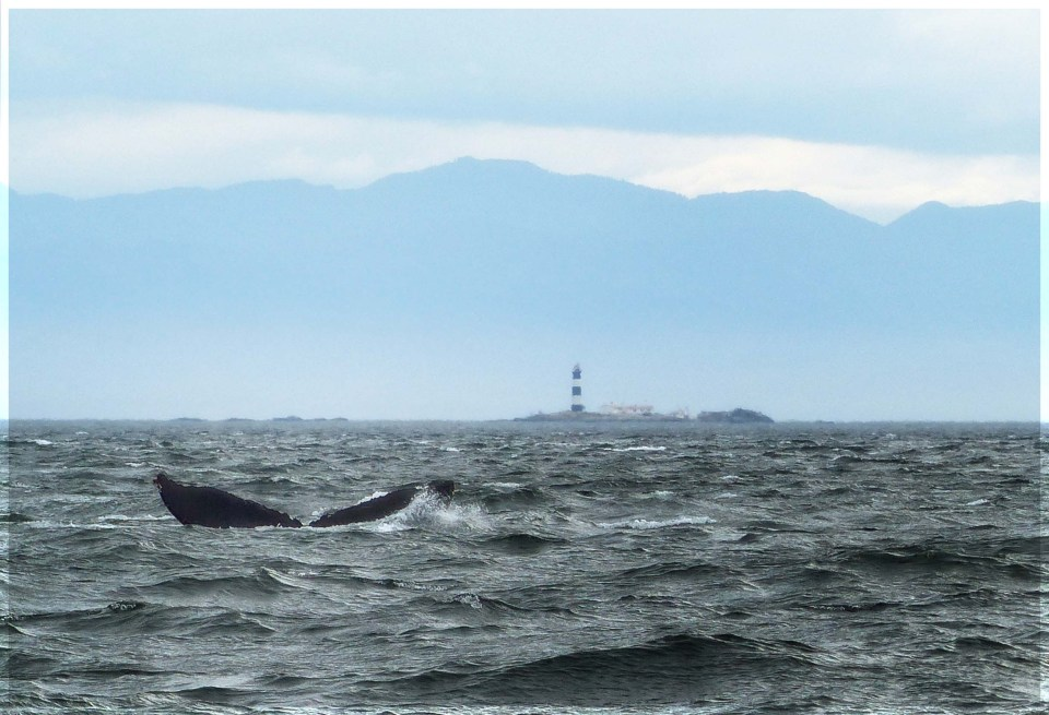 Tail of whale with mountainous coast behind