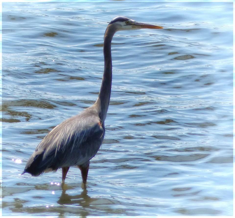Large grey bird with long neck, wading