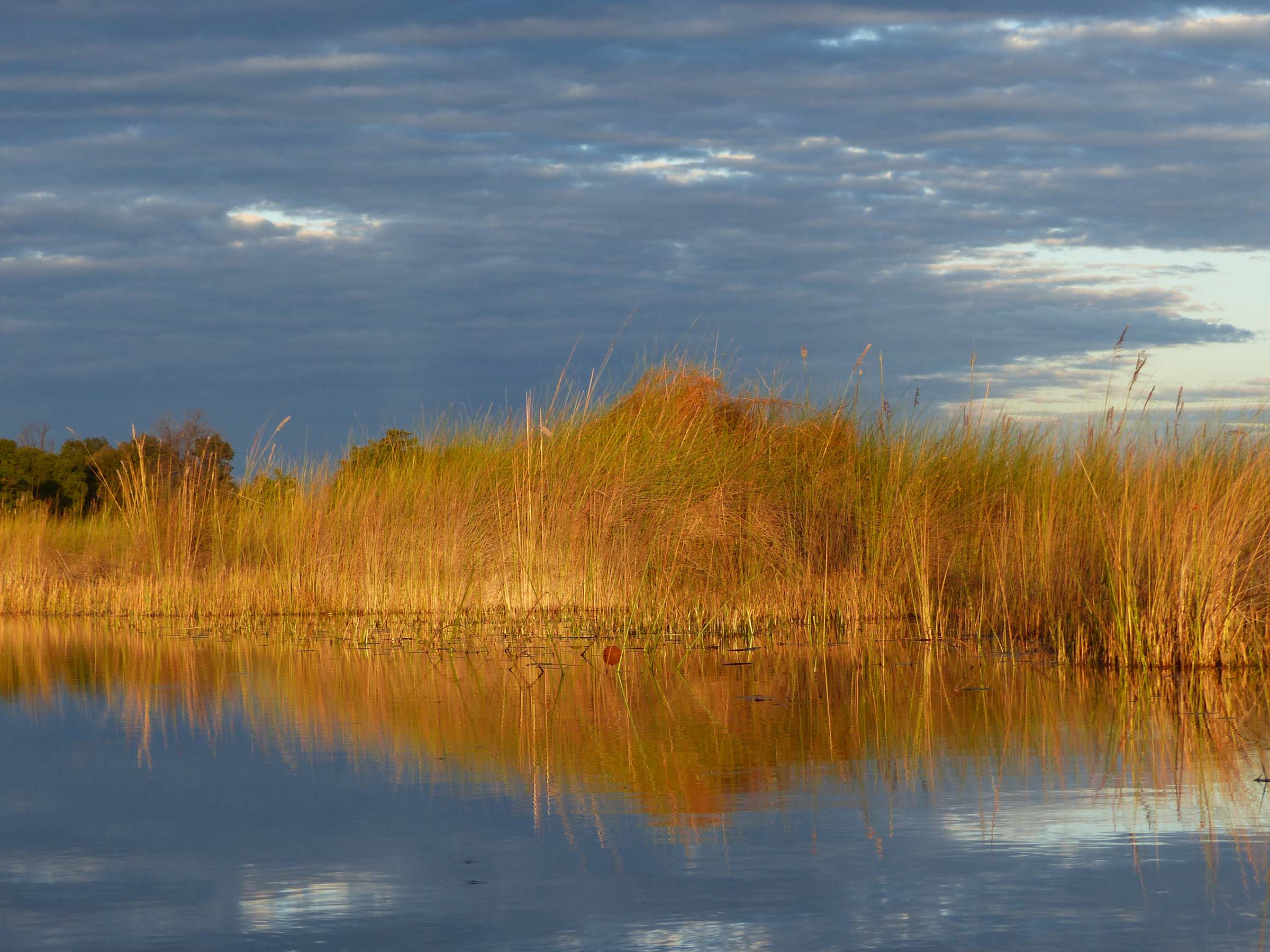 Bright yellow reeds reflected in water