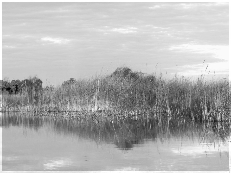 Black and white photo of reeds reflected in still water