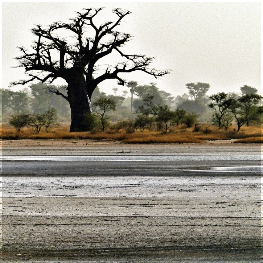 Large bare tree by water surrounded by much smaller ones