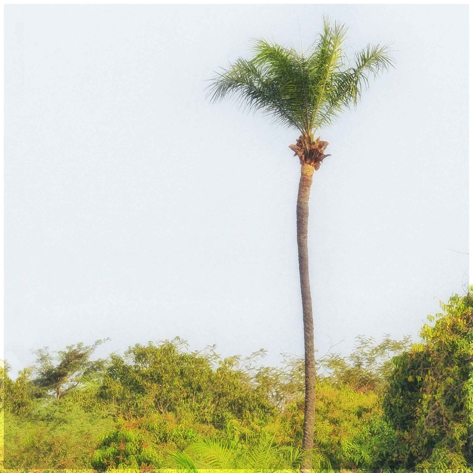 Tall slender palm rising above scrubby bushes