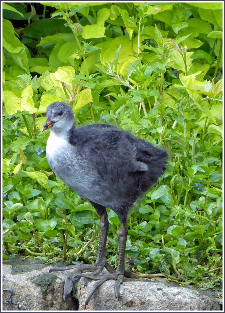 Fluffy grey duck with long legs on a stone ledge