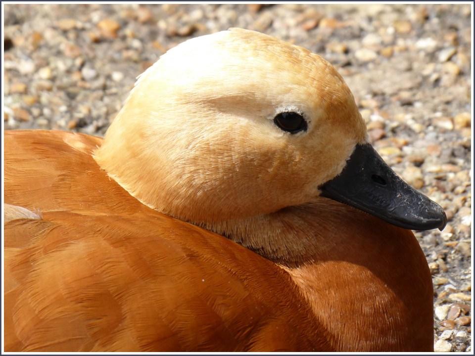 Tan coloured duck