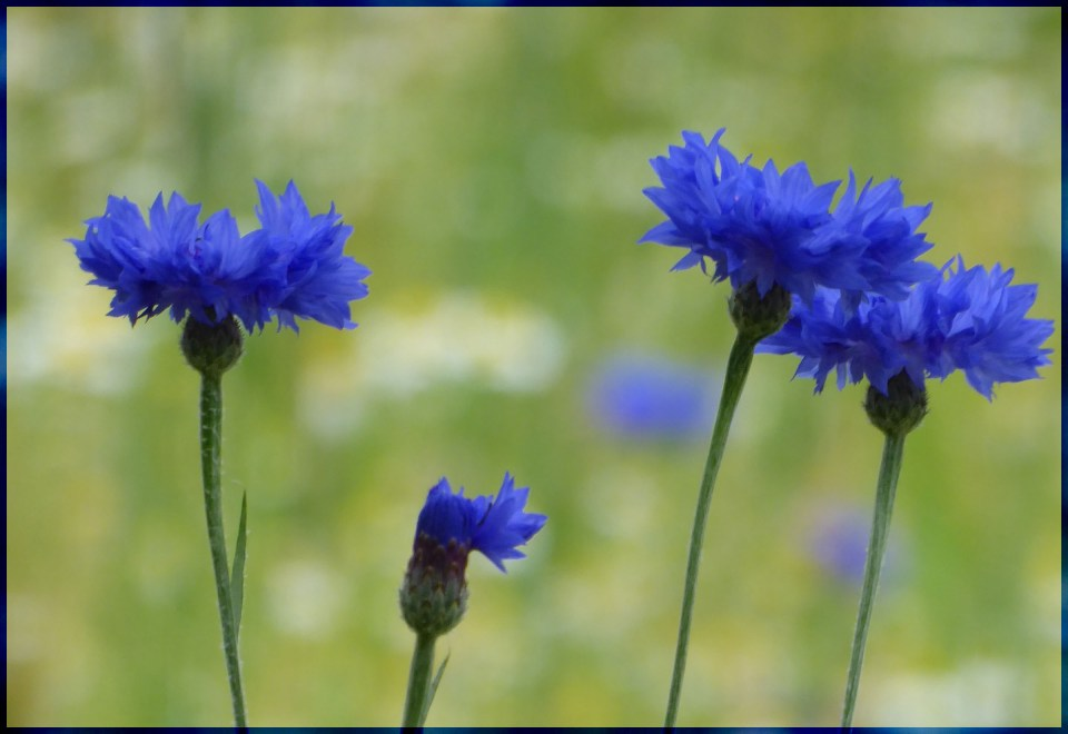 Four blue flowers in a row
