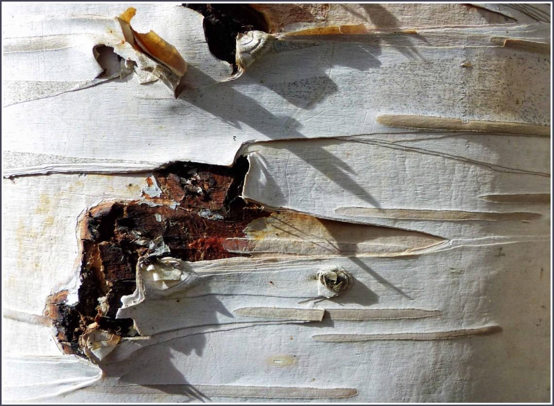 Close up of peeling white bark