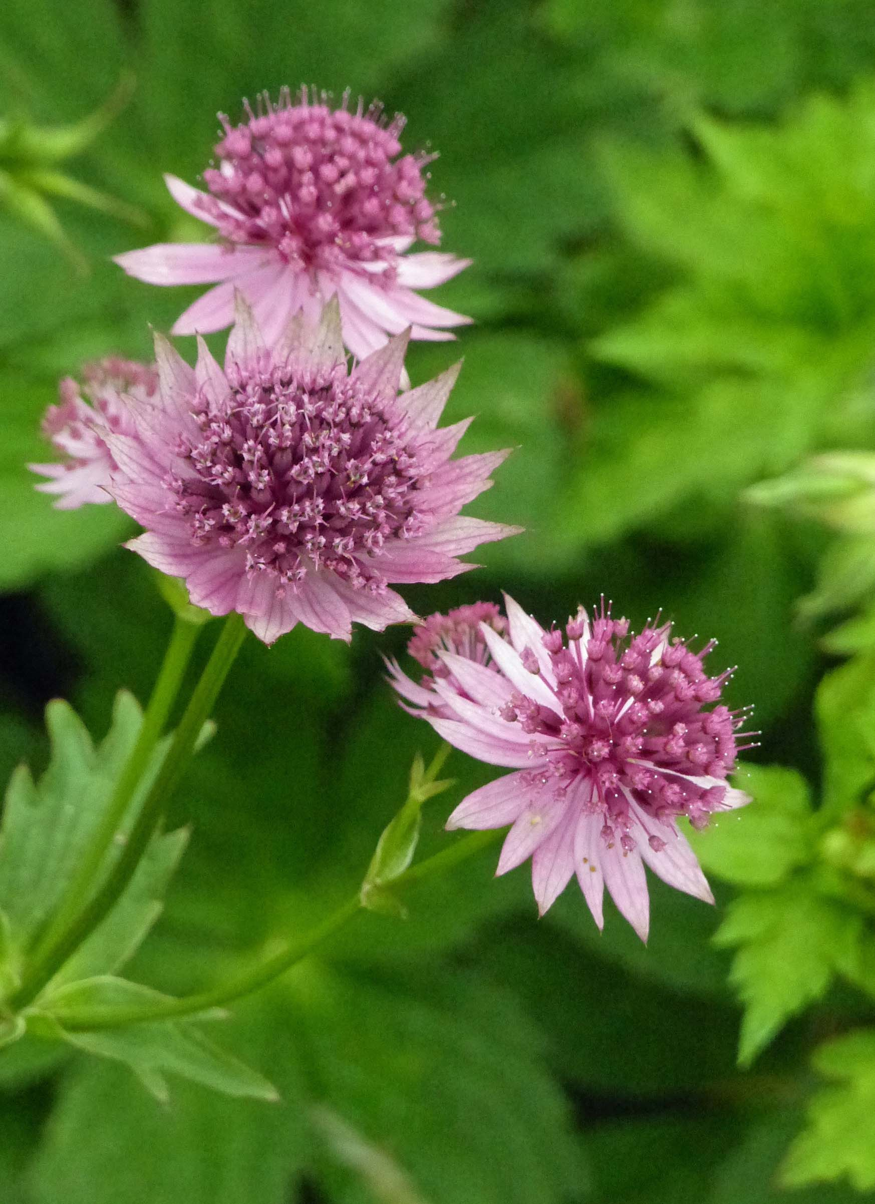 Spiky pink flowers