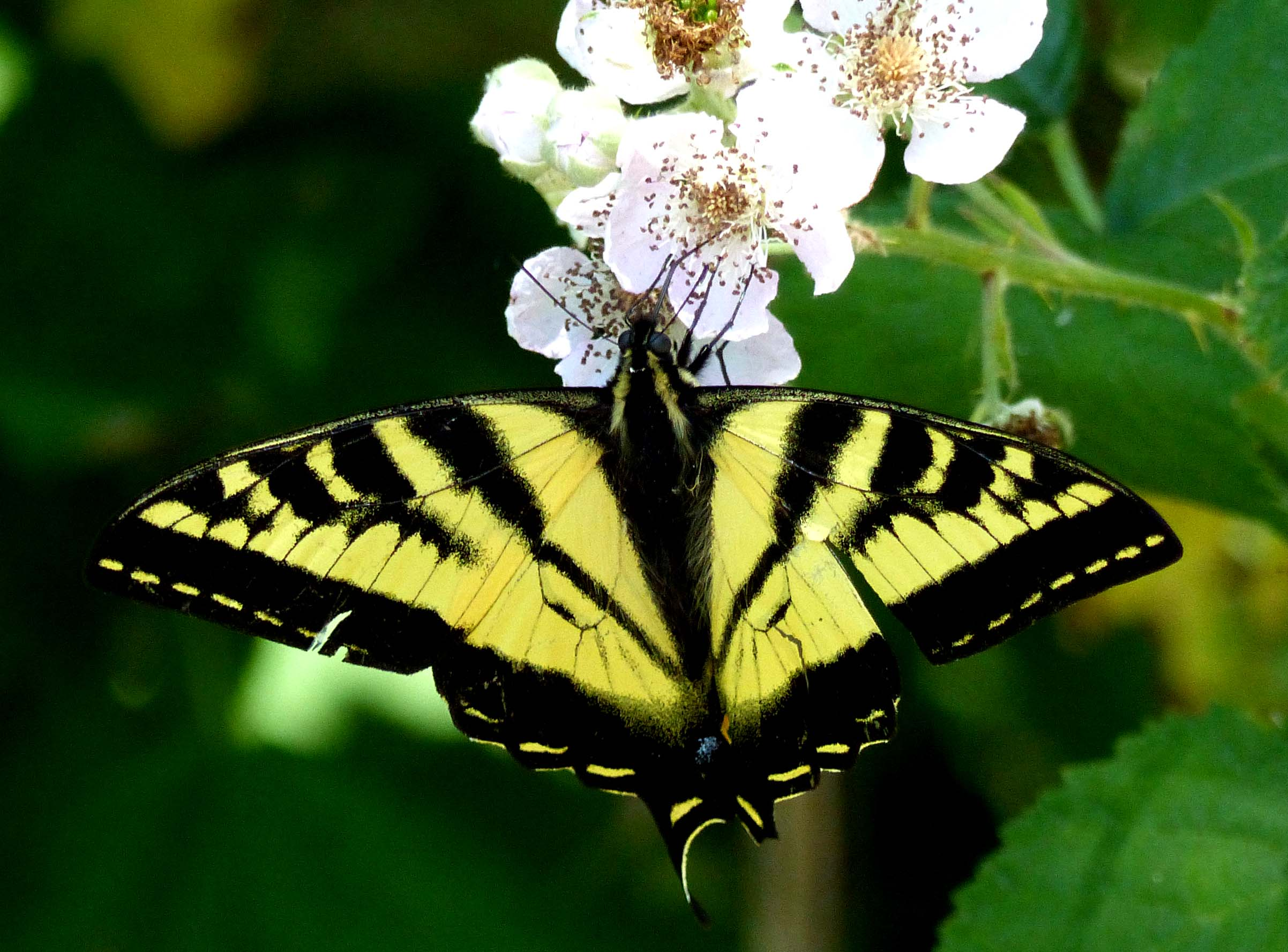 Yellow butterfly on white blossom