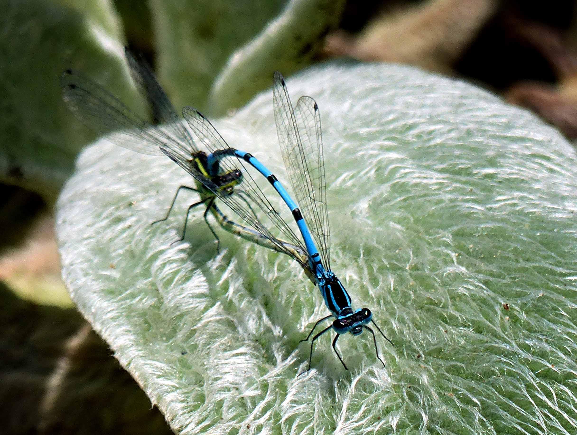 Blue damselflies mating on a hairy leaf