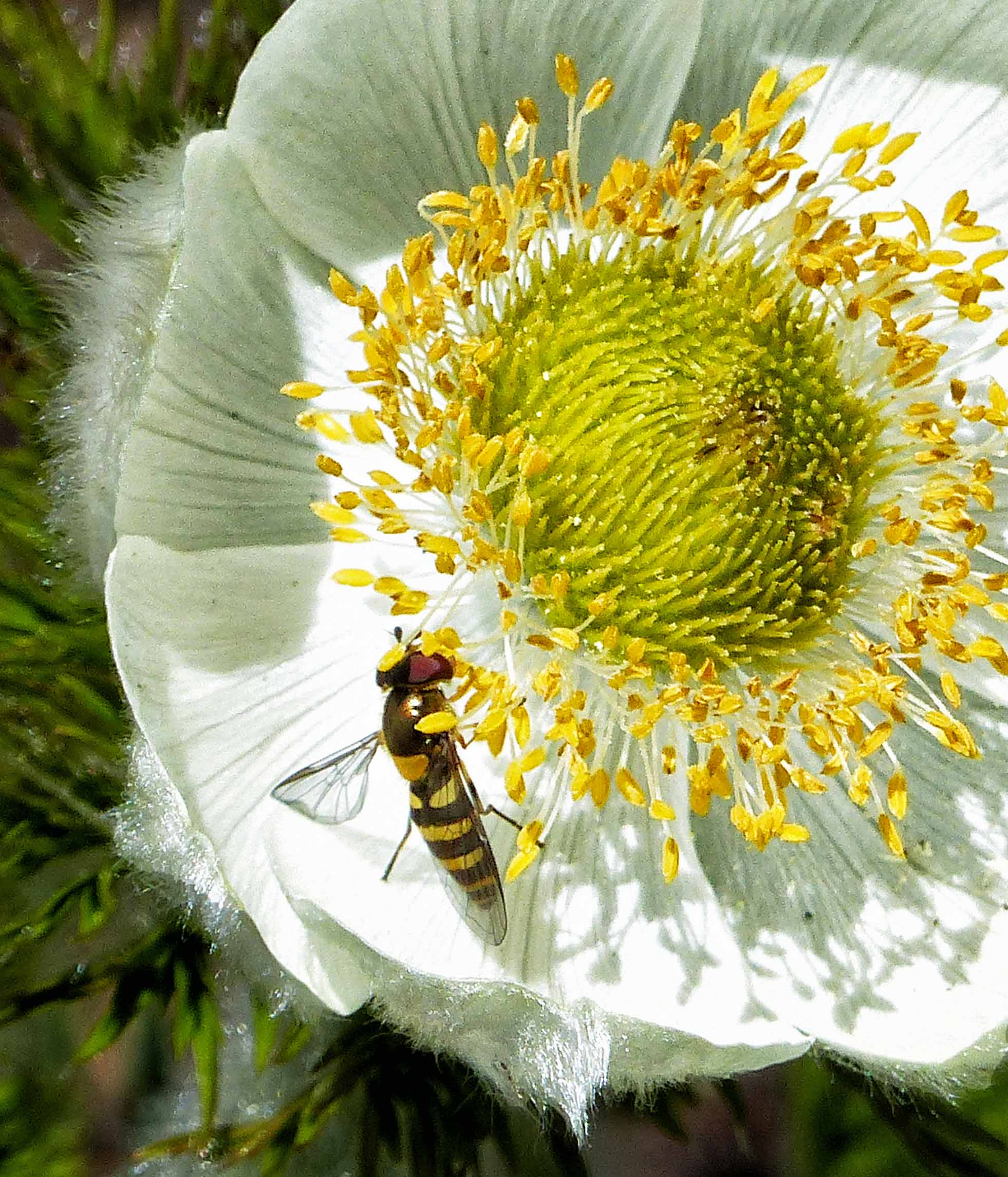Striped fly on a large white flower