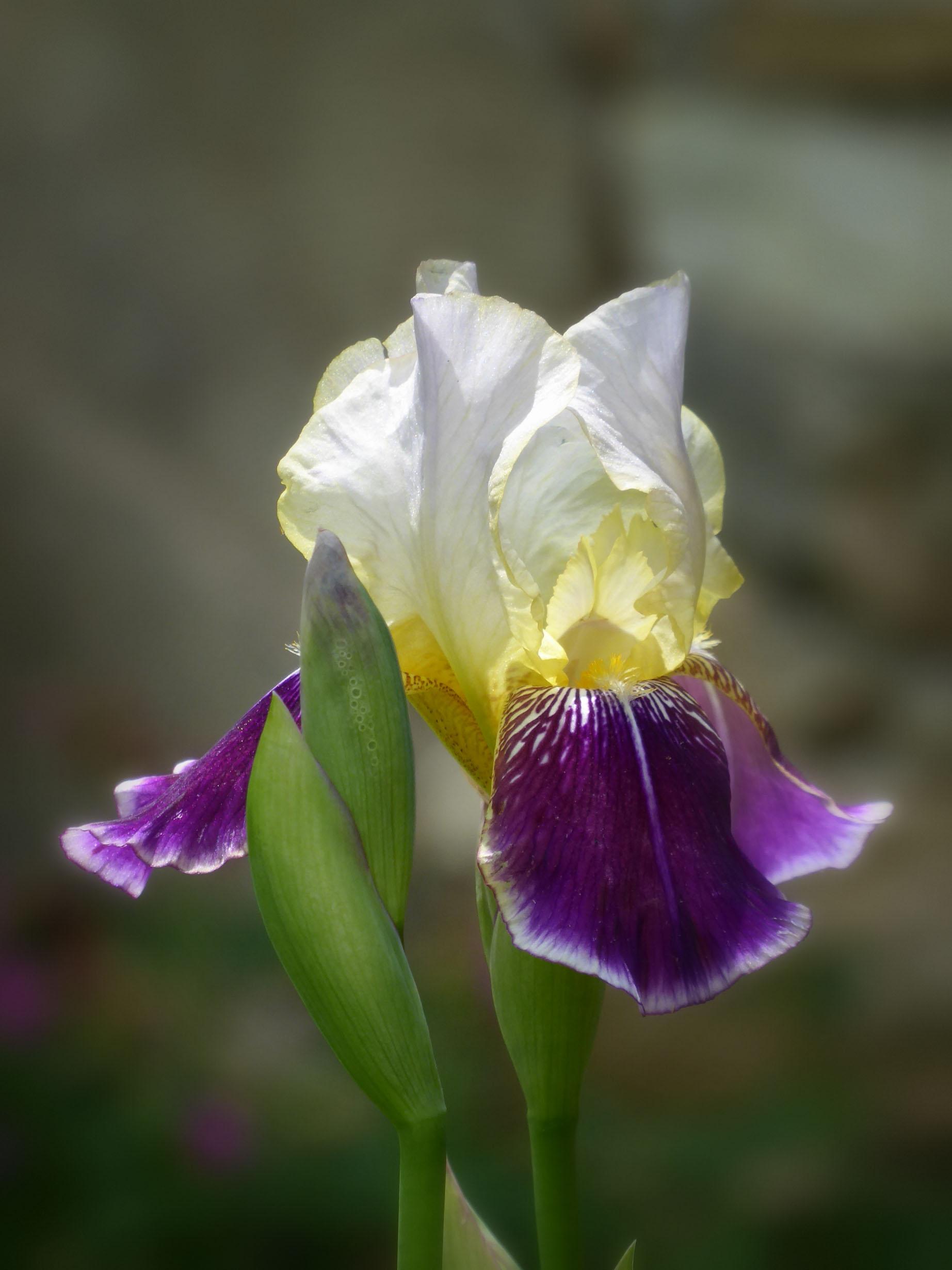 Mauve and cream iris