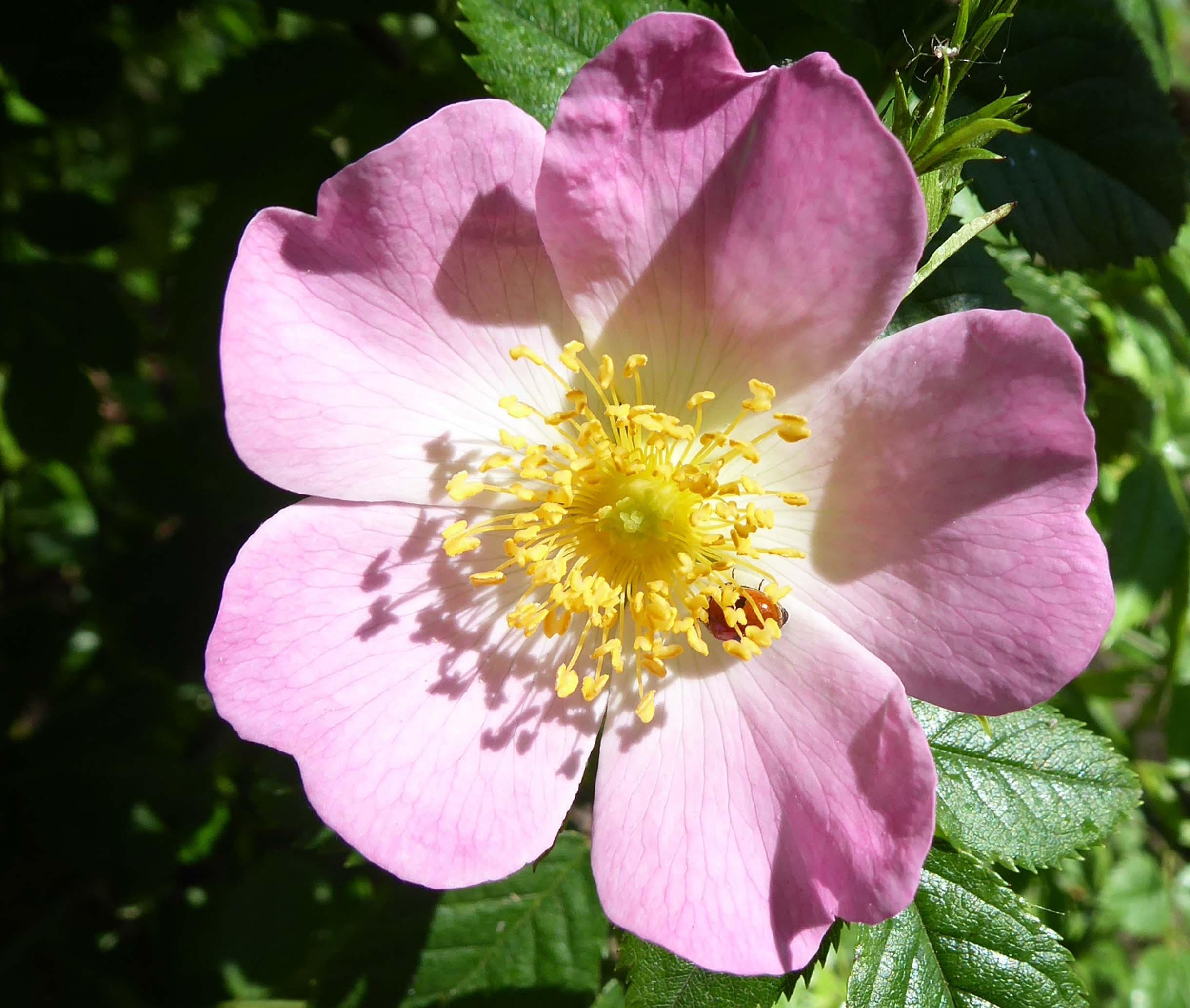 Ladybird on a pink rose