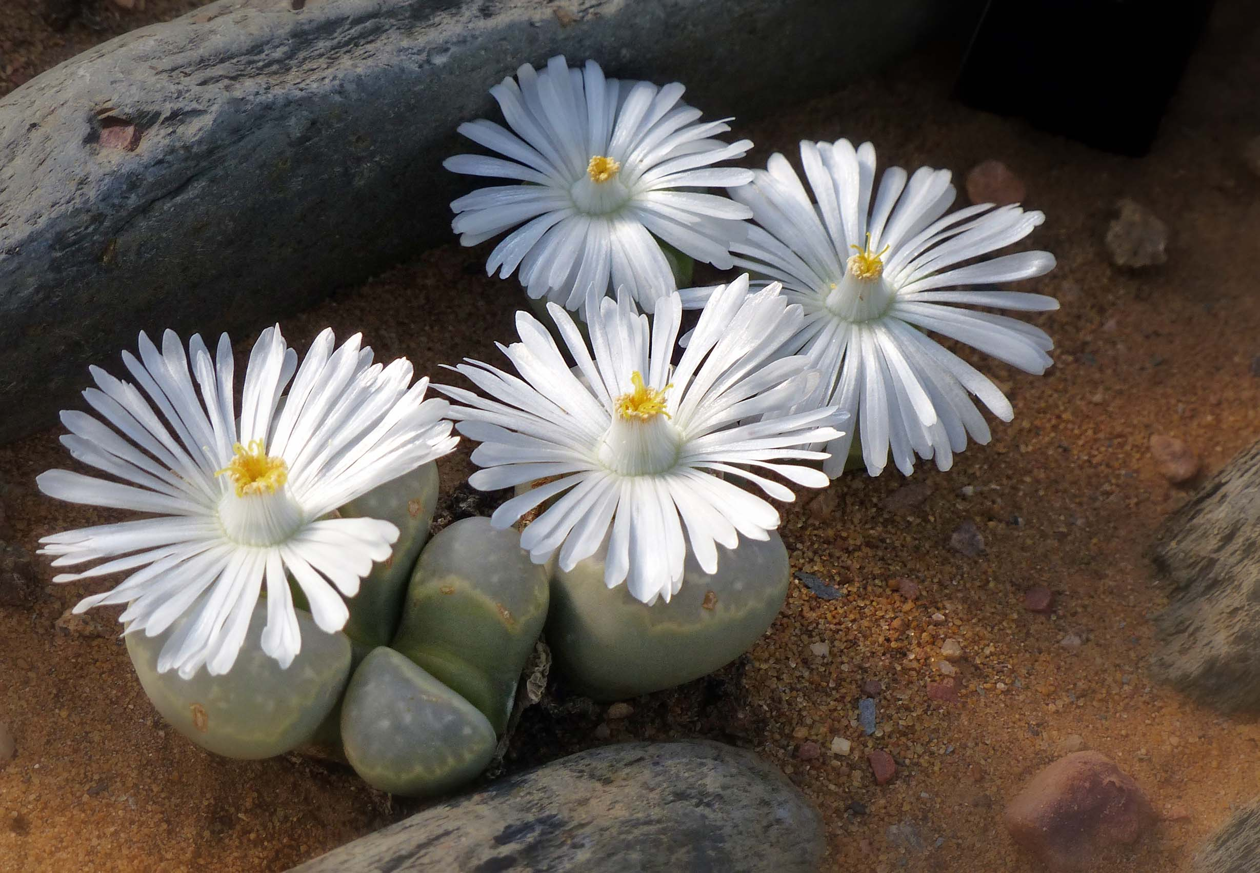 White daisy-like flowers growing from stumpy grey succulents