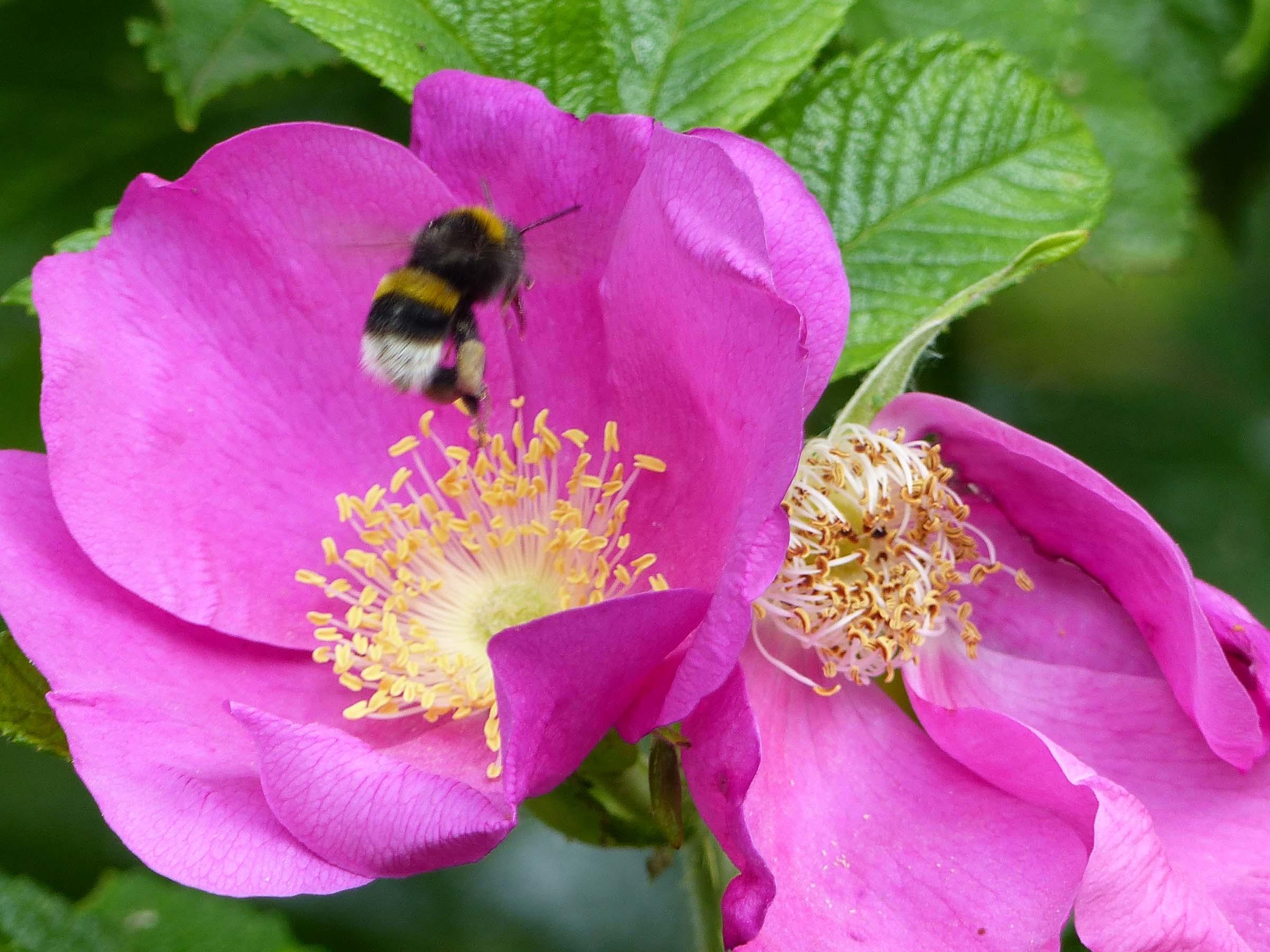 Bee leaving bright pink flower